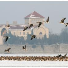 Tens of thousands of geese and thousands of ducks roost on Lake Öreg, in front of the baroque style Castle of Tata during the migration period