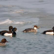 Lake Balaton holds large numbers of wintering waterfowl