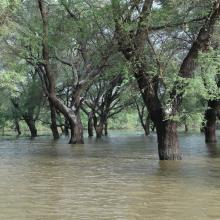 Acacia senegal en inondation temporaire au lac Magui