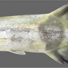 Espèce de Mormyridae