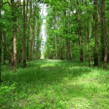 Leucojo aestivum - angustifoliae forest