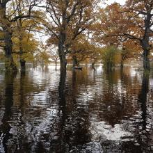 "The flood ""fifth"" season in Soomaa NP. Flooded meadow with oaks. Floods ocur also in autumn with heavy rains."