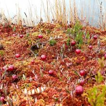 Cranberries on Sphagnum carpet, near bog pool. Drosera flower sems in background.