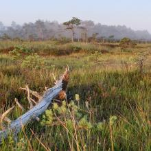 Morning mist on raised bog, with cottongrass and white beak-sedge.