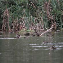 anatideae fréquentant le lac