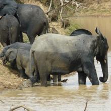 Un troupeau d'éléphants dans la zone humide
