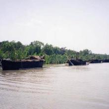 Boats carrying the harvested Golpata (Nypa fruiticans) from the Sundarbans