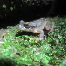 Ptychohyla salvadorensis_El Jocotal
