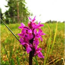 Orchids grow in the wetlands at Hedmarksvidda. Here: The  early marsh-orchid found at Harasjømyrene