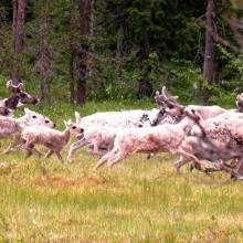 Reindeer from Rondane graze at Hedmarksvidda. Here: Parts of a doe herd in Harasjømyrene.