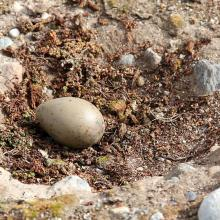 Great skua nest