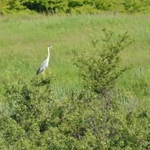 Ardea cinerea near Murafa River
