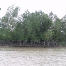 Mangrove in Meinmahla Kyun