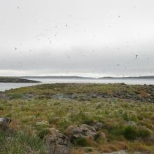 Arctic terns over Saatuuarsuit, the westernmost small islands.