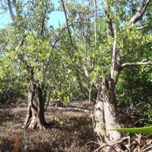 Manglar de Avicennia germinans en Santa Elena
