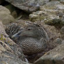 Nesting common eider in Horsvaer