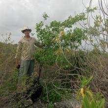 Bourreria  succulenta, planted in a reforestation project in 2006 at Klein Bonaire.